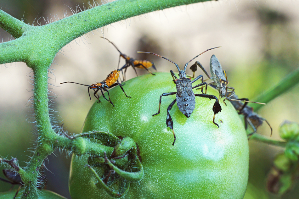 pest control in an organic garden